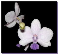 dtps siamtreasure | Doritaenopsis Siam Treasure x Sib (Phalaenopsis lowii x Doritis ...