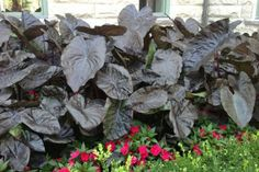 Elephant ears (Colocasia esculenta) sport large, colorful leaves and give your garden an instant tropical effect. Black Elephant Ears, Purple Elephant, Real Plants, Types Of Plants, Tropical Garden, Tropical Plants, Planting Bulbs, Planting Flowers, Elephant Ear Plant