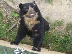 Spectacled Bear, Schonbrunn Zoo