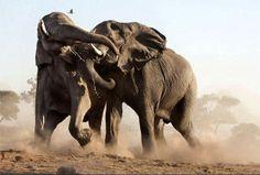 Com: Steve Bloom Wildlife Photography War Elephant, Elephant Facts, Elephant Love, African Elephant, African Safari, Elephant Stuff, Wildlife Fotografie, Steve Bloom, Amazing Animal Pictures