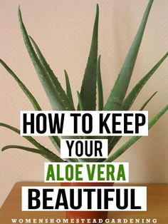 Aloe vera is an easy to grow indoor plant with amazing benefits its not just a sunburn soother or an herb to clear all your skin problems it can do more than you imagine so keep your potted friend healthy with proper care aloevera beautiful plant Succulents Garden, Garden Plants, Planting Flowers, Potted Plants, Garden Seeds, Indoor Succulents, Replanting Succulents, Flowering House Plants, Clematis Plants