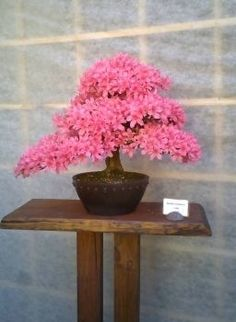 Bonsai azalka (70 pieces)