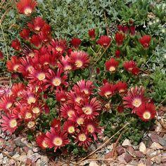 Delosperma Red Mountain