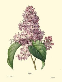 Redoute Lilac Antique botanical print reproduction. $15.00, via Etsy.
