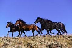 Wild Mustang - Nevada