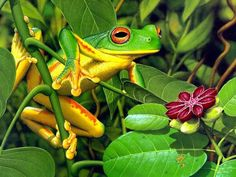 There are over types of frogs world wide that are placed in 25 families. Article about all of types of frogs including bullfrogs, tree frogs, Gray Tree Frog, more. Frog Wallpaper, Wildlife Wallpaper, Animal Wallpaper, Papa Roach, Funny Frogs, Cute Frogs, Types Of Frogs, Frosch Illustration, Frog Pictures