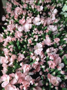 Dianthus Star Pink...Sold in bunches of 10 stems from the Flowermonger the wholesale floral home delivery service.