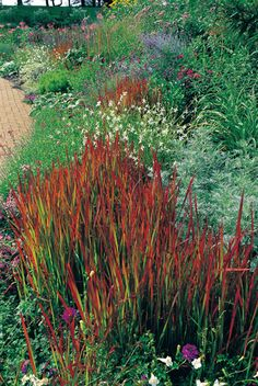 If you want to add eye-popping color to your perennial garden, try bright red Japanese blood grass. It makes a bold statement when contrasted with the silvery green 'Powis Castle' artemisia, behind and right, and the white flowered gaura, directly behind.