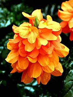 Elegant decorative flowering plant - Firecracker flower - Crossandra fortuna - Vibrant orange flowers - Flowering from spring to fall - Easy to grow - Lovely gift for birthdays and new homes. Christmas Gifts For Girlfriend, Christmas Gifts For Boyfriend, Christmas Gifts For Women, Christmas 2015, Sister Gifts, Best Friend Gifts, Christmas Plants, Peach Flowers, Presents For Men