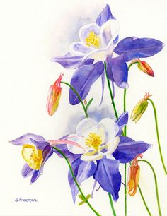 Blue Columbines Watercolor Painting original by ssfreeman43, $100.00