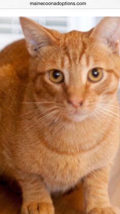 """Gino is a 2-year-old orange tabby boy, super sweet. Gino is awaiting his """"furever"""" home along with his pal, Blondie.  www.MaineCoonAdoptions.com   Oakland, CA"""