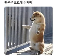Shiba Inu, Shiba Puppy, Dog Pictures, Cute Pictures, Penguins, Cute Dogs, Dogs And Puppies, Cute Animals, Funny Memes