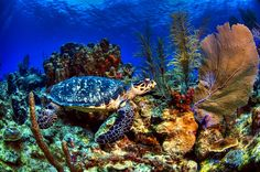 Turtle & Coral by Julio Sanjuan on 500px Turtle and Coral in Roatan (Honduras).