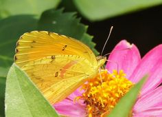 Zinnia with butterfly by Mike Di Leo at Lewis Ginter Botanical Garden