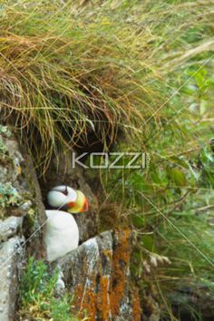 nesting puffin - A puffin nesting in the spaces between the rocks