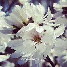 Magnolia stellata 'Centennial' #gardening #tuinieren #jardinage #gartenarbeit #magnolia #flowers #bloemen #fleurs #blumen #tree #boom #arbre #baum #hortusconclusus #treenursery #boomkwekerij #pépinière #baumschule #uitbergen #berlare #zele #wichelen #schellebelle #lokeren #schoonaarde #dendermonde #laarne #beervelde #kalken #wetteren