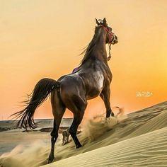خيل Awesome horse photography! Gorgeous dark horse with shiny coat running in desert sand. Powerful animal, tail flying in the wind.    Free spirit and beautiful!