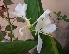 Lírio-do-brejo O lírio-do-brejo é uma planta perene nativa da Ásia tropical, possui uma folhagem verde brilhante muito ornamental.Esta planta palustre é muito vistosa, suas flores são brancas, grandes, muito perfumadas e se formam o ano todo