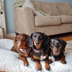 3 best friends  #BFF #GirlTime #SausageDogCentral @little.miss.paisley