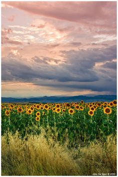 Peach Sunset wif de sunflowers outside of rural Longmont, Colorado_ USA Peach Wallpaper, Wallpaper Backgrounds, Colorado Usa, Longmont Colorado, Sunflower Photography, Sunflower Pictures, Happy Flowers, Sunflower Fields, Pink Sky