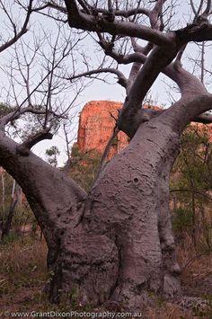 Western Australia, East Kimberley, Kununurra. Cockburn Range, El Questro Wilderness Park. Boab (Adansonia gregorii), in dry season when tree is deciduous. dusk.