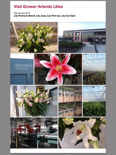 #Grower #Artemis Lilies #PreminumBlond #Joop #PinnUp #IceClear; Available at www.barendsen.nl