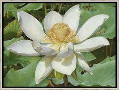 Joke Frima > Witte Lotusbloem | olieverf 30 x 40 cm