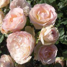 rose lykkefund google keres s domokos roz lia pinterest rose. Black Bedroom Furniture Sets. Home Design Ideas