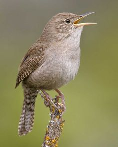 House Wren | Audubon Field Guide