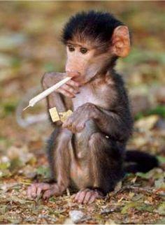 Funny Monkey...havin his smoke lol