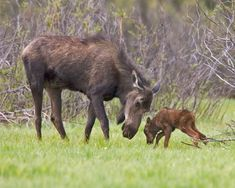 Cow Moose and Four-day-old Calf  Kawuneeche Valley, Rocky Mountain National Park, Colorado