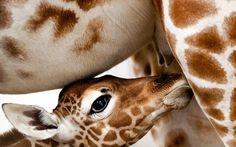 Νεογέννητη καμηλοπάρδαλη στο Άμστερνταμ . Το νέο μέλος της οικογένειας του ζωολογικού κήπου «Artis» στο Άμστερνταμ φωτογραφίζεται με την μητέρα του, Ιβάνα.