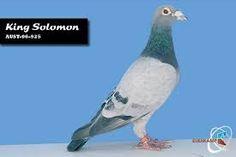 Image result for janssen van loon King Solomon, Pigeon, Van, Image, Vans, Vans Outfit