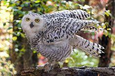 Snowy Owl_DSC1976