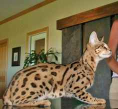 F1 Savannah Cat | F1 Queens | Select Exotics
