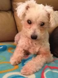 Mimi (NC) is an adoptable Maltese Dog in High Point, NC. Little Miss Mimi is a sweet 9 lb Maltese. She was taken to a shelter when her owner 'didn't want her anymore'. Well, we want her! Just because ...