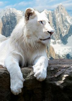 Wild albino tiger? Impossible, but beauty..