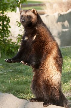 Take a trip to the Detroit zoo and check out the Wolverine Michigan State animal.