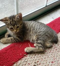 This sweet and playful girl is Sissy. She is a 13 week Tabby. Her coloring is just gorgeous. She is very unique in the sense that she was born with a bob as a tail. That doesn't slow her down in anyway. She loves to be around her current siblings so she would do great in any home that wants to show her love and attention! She is a healthy baby girl looking for her forever home.  If you are interested in Sissy, please…