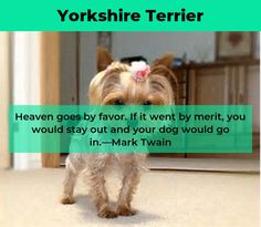 Yorkshire Terrier – Energetic and Affectionate Toy Yorkshire Terrier, Yorkshire Terrier Haircut, Haircut Funny, Yorkies, Terrier Mix, Pet Store, Dogs, Cute, Pet Dogs