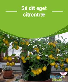 When you grow up in the North, the notion of growing citrus seems ridiculous. But it turns out, growing a lemon tree indoors is actually completely… Vegetable Garden, Garden Plants, Indoor Plants, Greenhouse Plants, Organic Gardening, Gardening Tips, Lemon Tree From Seed, How To Grow Lemon, Lemon Seeds
