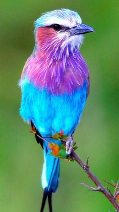 Coracias Caudatus Scientific name: Coracias Rank: Genus Lower classifications: Purple-winged Roller, Lilac-breasted Roller, … Cannot believe the Bird Kingdom has such beautiful colors and cute faces! God seemed to have Blessed them with beauty. Cute Birds, Pretty Birds, Beautiful Birds, Animals Beautiful, Funny Birds, Exotic Birds, Colorful Birds, Small Birds, Animals And Pets