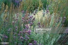 Stock Photo : Lesser calamint (Calamintha nepeta), origanum (Origanum) Herrenhausen and purple moor grass (Molinia caerulea) Moorhexe