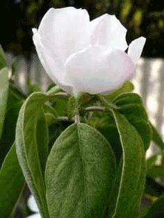 cydonia obonga / quince  18 century