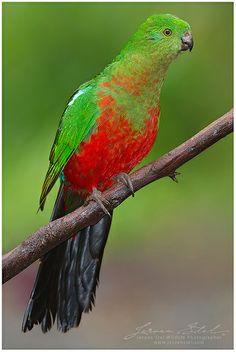 King Parrot by www.jeroenstel.com, via Flickr