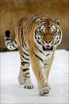 Tiger - Sibiria by Svenimal on DeviantArt