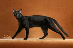 I've never seen one in black before! Savannah cat, you're next on the list.