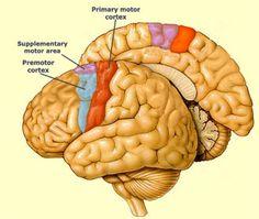 21ª PUBLICACIÓN: En la corteza motora se diferencian tres vías motoras, clasificadas según el patrón de terminación de las vías descendentes del cerebro. En cada una de ellas intervienen distintas partes del SN, y a su vez poseen diferentes finalidades. ENTRA Y CONOCE TUS MOVIMIENTOS.    Referencia:Corteza y Vía Motora. Facmed.unam.mx. Recuperado 29 Abril 2017, de http://www.facmed.unam.mx/Libro-NeuroFisio/10-Sistema%20Motor/10a-Movimiento/Textos/Via-SistMotor.html