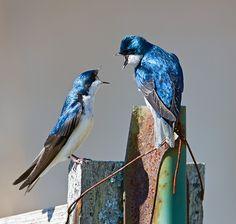 tree swallow.  territorial dispute.