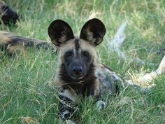 Safari Holidays, Victoria Falls, Wild Dogs, Wildlife Photography, Uk Trip, Holiday Photography, Animals, Instagram, Travel